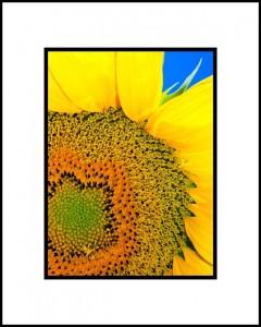 Sunflower_B Dike Small